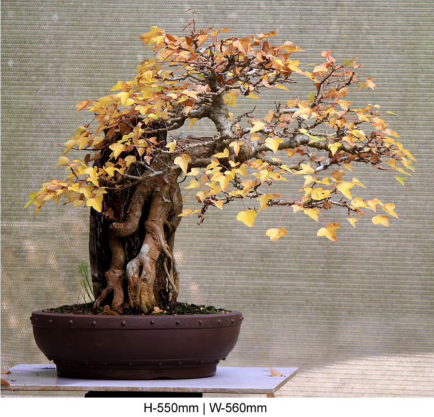 trident-maple-root-over-rock-front