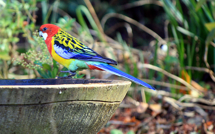 eastern rosella 01 small