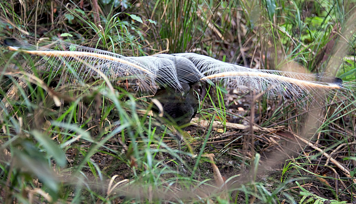 lyrebird small