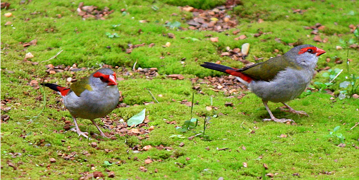 red browed firetail 01 small